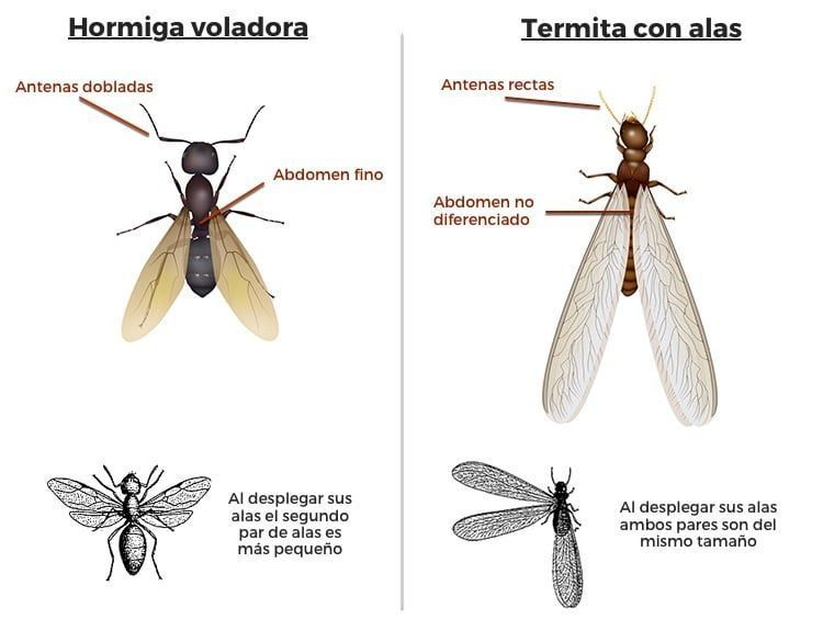 diferencias-termitas-hormigas
