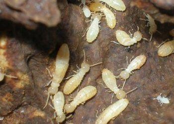 fotos-termitas