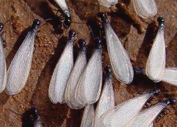 fotos termitas voladoras