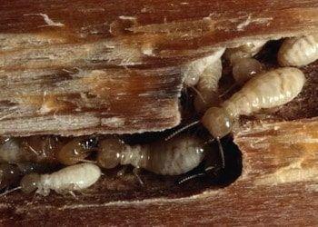 madera-plaga