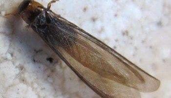 termita-alada-aspecto