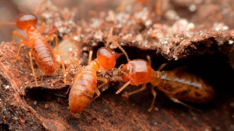 Fotos de termitas