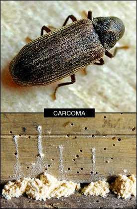 Termitas qu son qu comen caracter sticas plaga for Carcoma de la madera