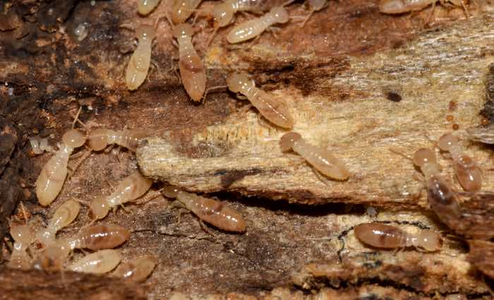 Tipos de Termitas: Especies, organización y función en el termitero